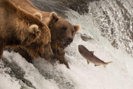 Salmon jumps towards two bears on waterfall