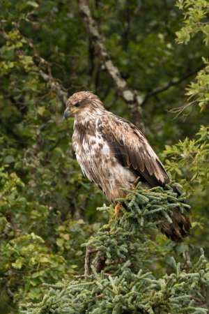 Juvenile bald eagle perched in pine tree