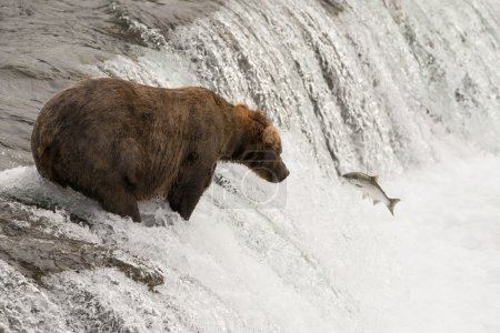 Brown bear watches salmon leaping towards it