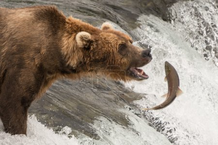 Brown bear about to catch a salmon