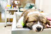 cute puppy ill and sleep on operating table in veterinarian's cl