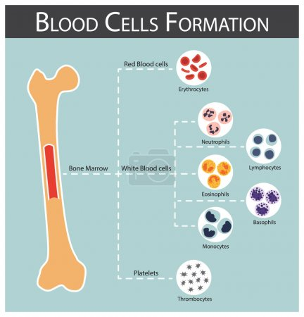 Blood cells Formation ( bone marrow produce blood ...