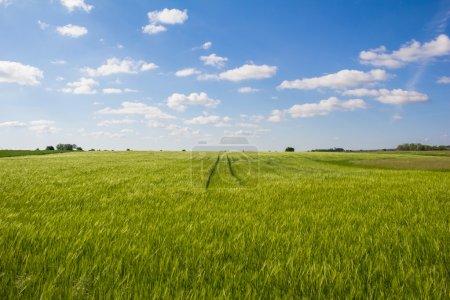 Beautiful Landscape Green Corn Field With Blue Cloudy Sky