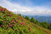 Alpská růže na Mt. Gerlitzen