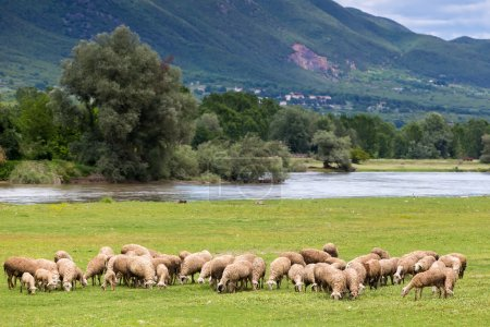 Sheep grazing next to the river Strymon spring in Northern Greec