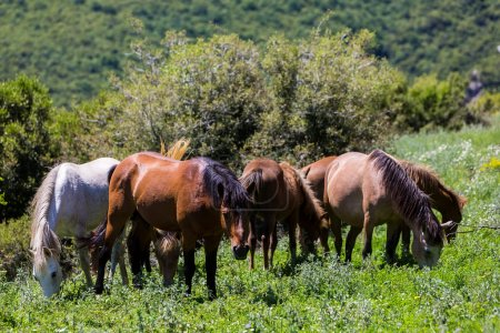 herd of horses that eat greens on a mountain slope