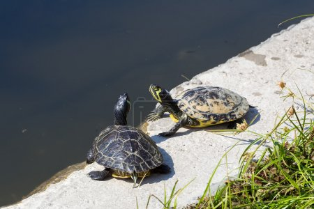 Western painted turtle (chrysemys picta) sitting by fresh water