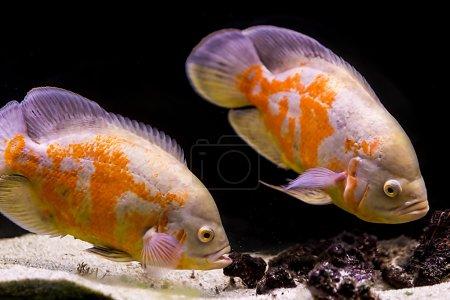 Colorful tropical fish in aquarium...