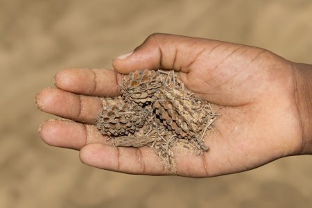 Hand of a man holding filao fruits (Casuarina equisetifolia)