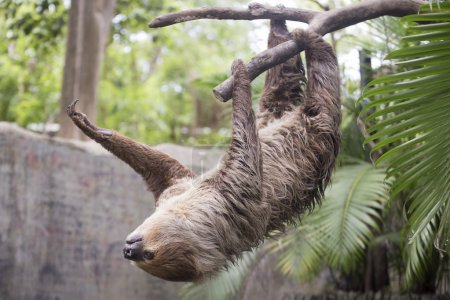 two-toed sloth on the tree