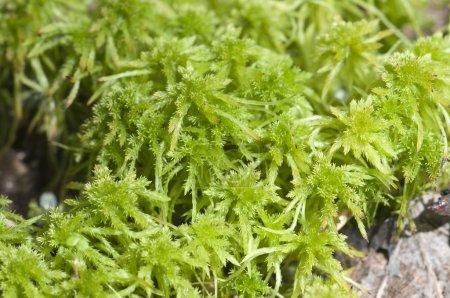Peatmoss (sphagnum or bog moss) macro shot, local ...