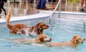 Kutyák nyilvános medencében úszó
