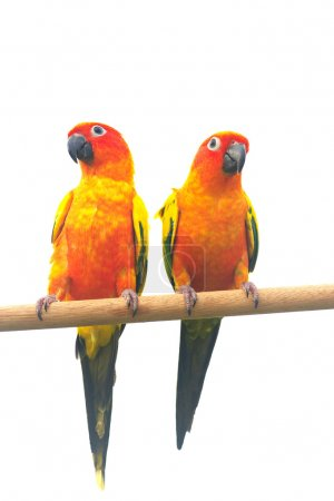 Two sun Conure Parrot Screaming on a Branch isolat...