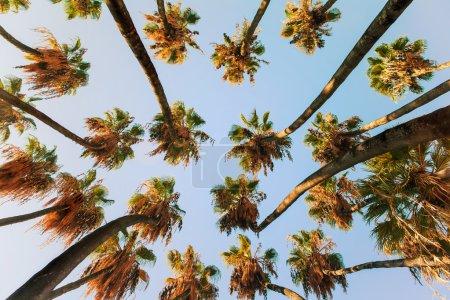 Palm trees at sunrise light.
