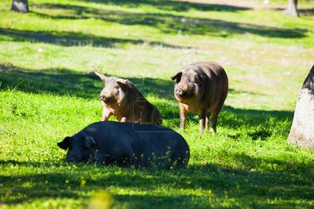 Iberian pigs at countryside