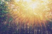 larch forest with sunlight and shadows at sunrise with vintage s