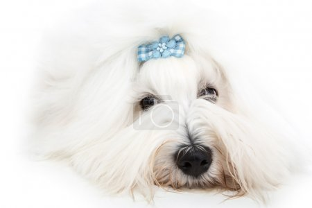Pretty isolated young Cotton de Tulear whelp wearing blue ribbon