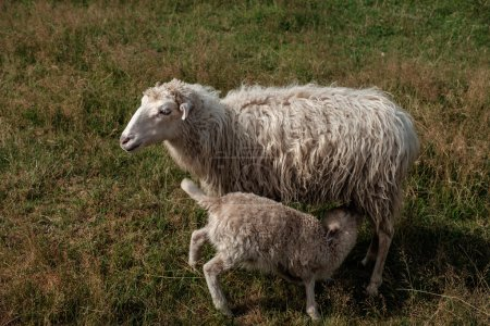 Lamb suckling his mother.