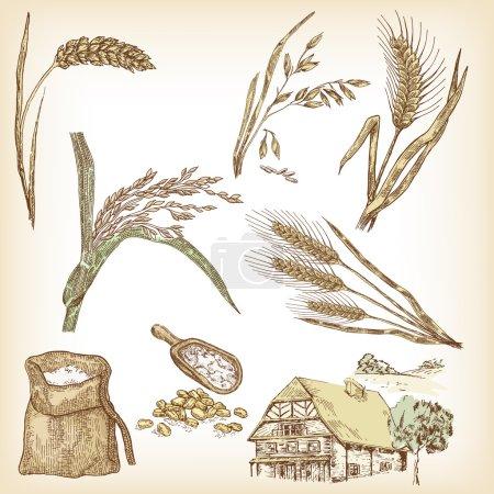 Wheat, rye, oats, barley, rice, farm house. Vector