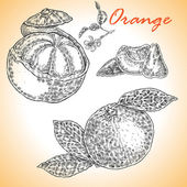 Collection of highly detailed hand drawn orange Vector