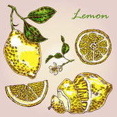 Collection of highly detailed hand drawn lemon Fresh lemon vector