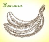 Detailed hand drawn banana Vector illustration in sketch style