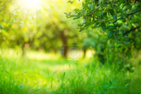 Photo for Apple garden green sunny background. Summer and autumn sesonal. - Royalty Free Image