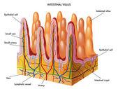 Structure of Villi and microvilli