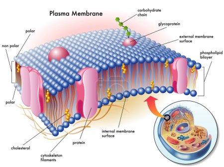 Illustration for Medical illustration of elements of plasma membrane. - Royalty Free Image