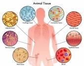Animal tissues schem�e