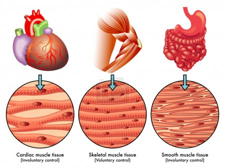 Illustration for Vector illustration of colorful Muscle tissue scheme - Royalty Free Image