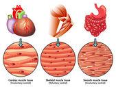 Muscle tissue scheme
