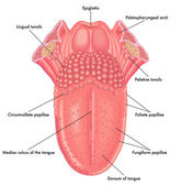 anatomy of human tongue