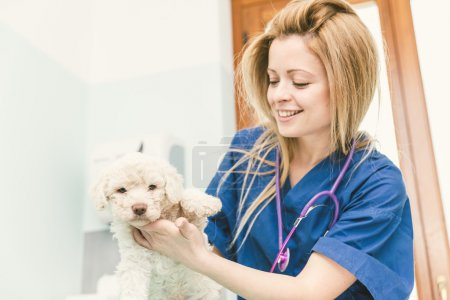 Veterinary checking a dog puppy