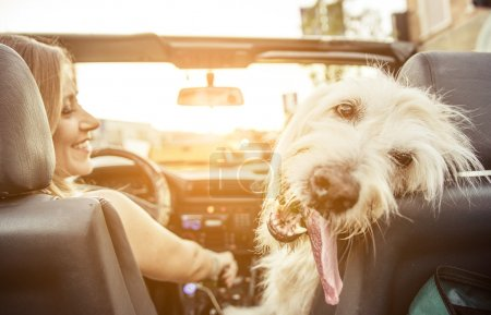 Photo for Woman and her labradoodle dog driving with the car. concept about animals - Royalty Free Image