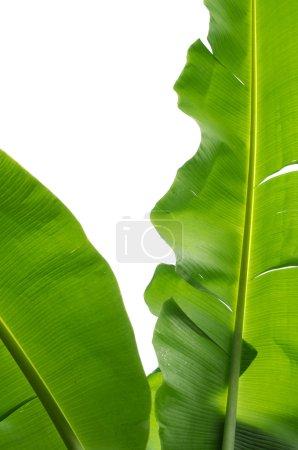 Foto de Hoja de plátano natural sobre fondo blanco - Imagen libre de derechos