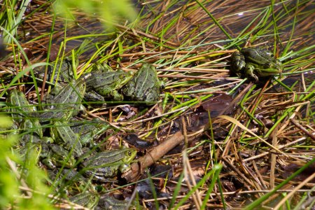 Bunch of frogs sitting in the grass by a pond, als...