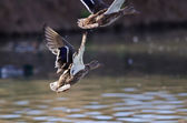 Kachna divoká kachna při letu z vody
