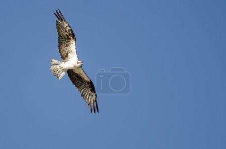 Lone Osprey Flying in a Blue Sky...