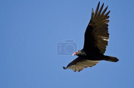Turkey Vulture Flying in a Blue Sky...