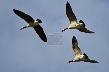 Three Canada Geese Flying in a Blue Sky...