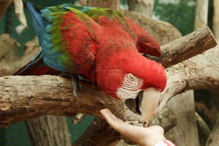 Feeding Ara Macao parrot from the hand