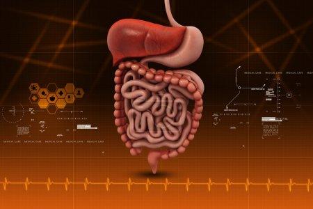 Photo pour Système digestif humain - image libre de droit