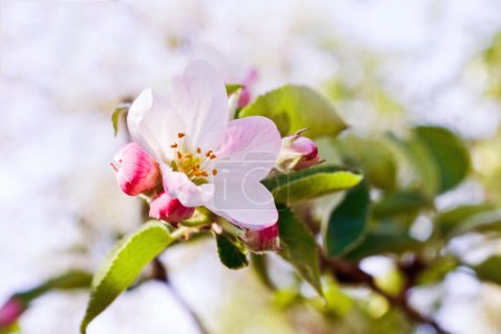 Photo pour Les arbres à fleurs symbolisent le renouveau du printemps . - image libre de droit