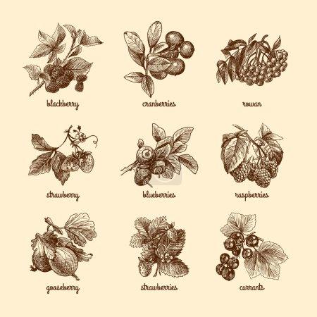 Illustration pour Ensemble de baies biologiques naturelles de fraise mûre canneberge croquis illustration vectorielle isolée - image libre de droit