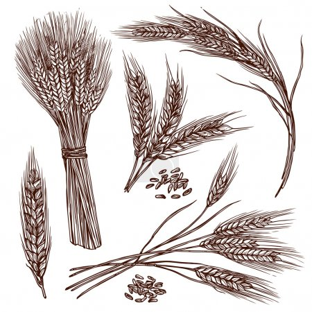 Illustration for Wheat ears cereals crop sketch decorative icons set isolated vector illustration - Royalty Free Image