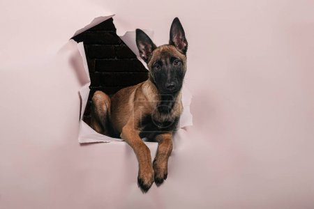 Photo for Portrait of cute puppy of breed malinois comes out of a hole in the paper wall .Free space for text. - Royalty Free Image