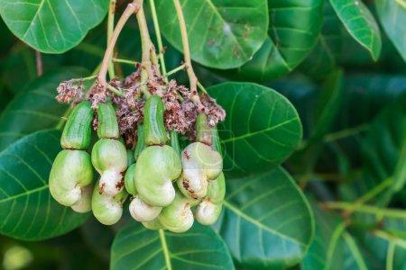 Photo pour Jeune noix de cajou qui poussent sur les arbres - image libre de droit