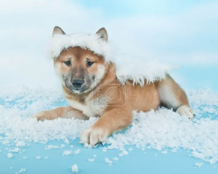 Little Shiba Inu puppy in an angel outfit that loo...