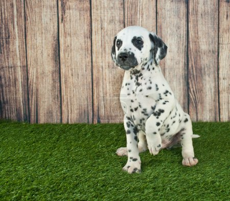 Very cute Dalmatian puppy sitting in the grass beg...